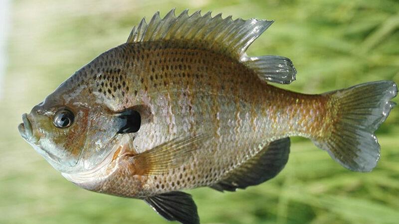 【悲報】ブルーギル、何者かによって持ち込まれた魚だった