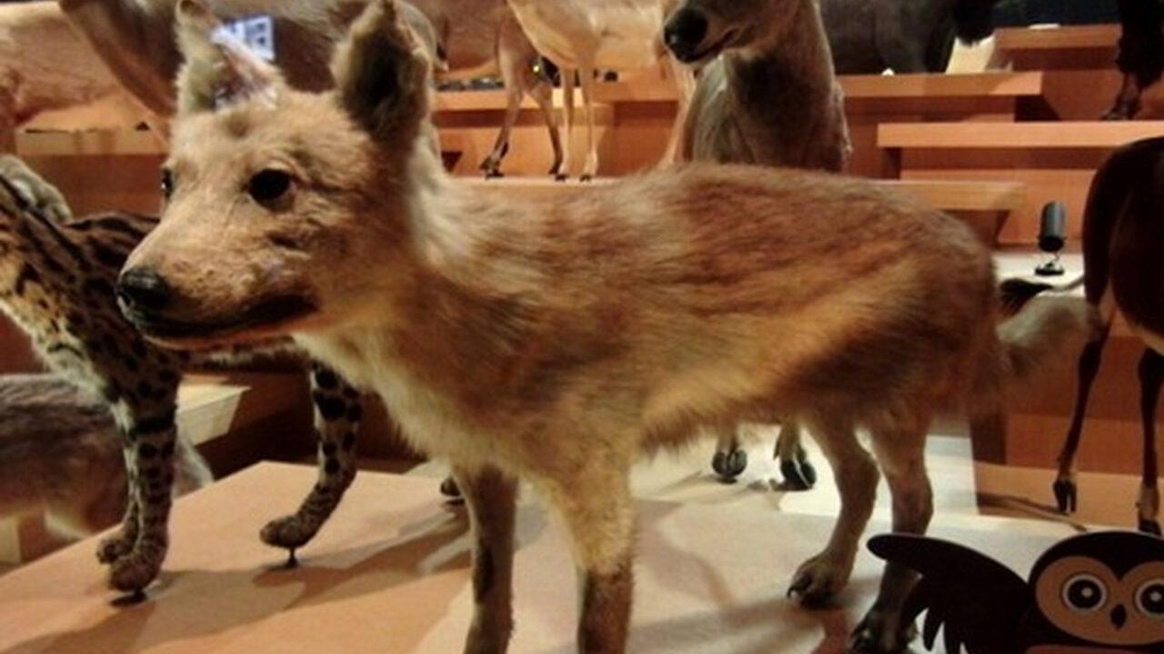 【悲報】ニホンオオカミ、ただの犬だった...