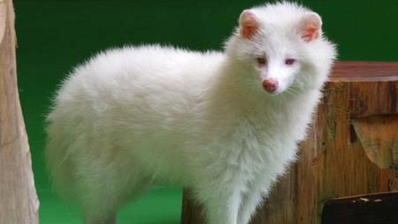 【速報】白いタヌキが見つかる