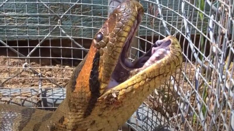 【脱走】戸塚のニシキヘビ、5目目の逃亡に成功する