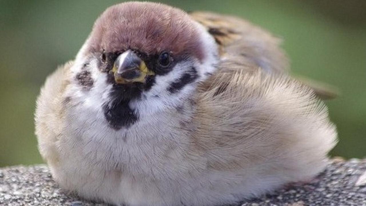 【画像】スズメとかいう可愛い鳥